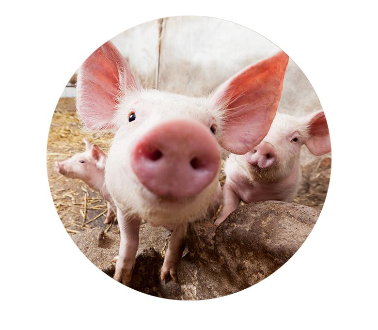 Prairies-Coustalat-cochon